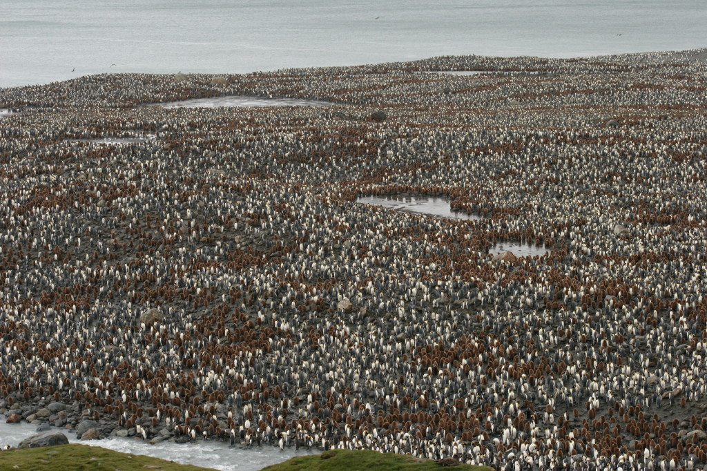 Kolonie Königspinguine